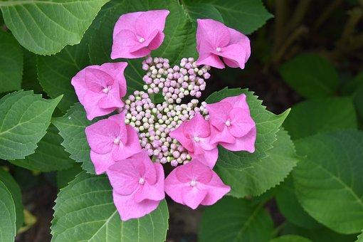 Flower, Pink, Nature, Plants, Leaves, Garden, Petal