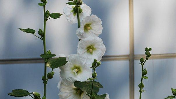 Hollyhock, Garden, Flowers, Nature, Summer, Wild