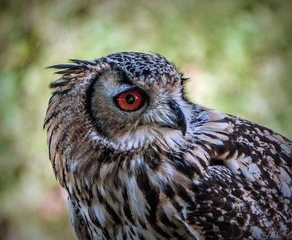 Owl, Birds, Plumage, Bird Of Prey, Animals, Eyes, Head
