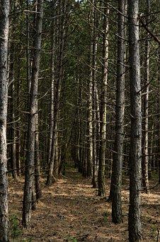 Forest, Germany, Deutschland, Pine Trees, Landscape