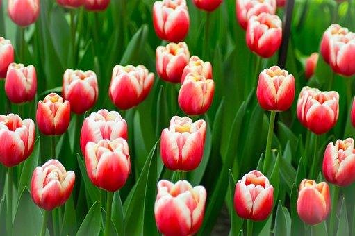 Tulips, Keukenhof, Flower, Holland, Plant, Garden