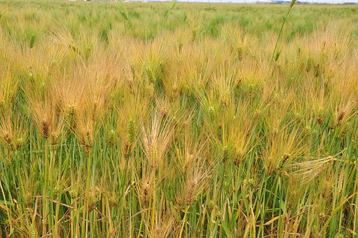 Barley, A Barley Field, Plants, Summer, Nature