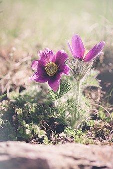 Anemones, Purple, Purple Anemones, Nature, Flower