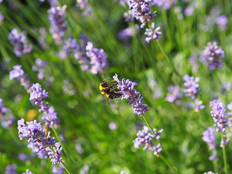 Lavender, Blossom, Bloom, Bee, Sprinkle, Nature, Purple