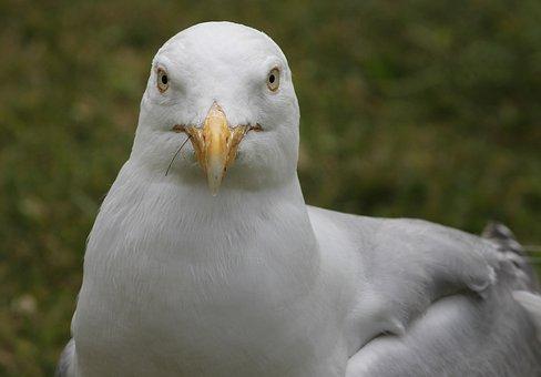 Seagull, Close Up, View, Head, Seevogel, Water Bird