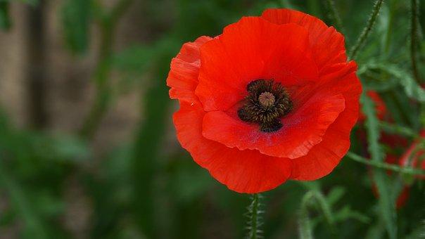 Yanggwibikkot, Garden, Poppy, Flowers, Nature, Summer