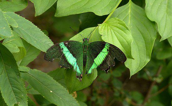 Butterfly, Green Butterfly, Greens, Leaves, Summer