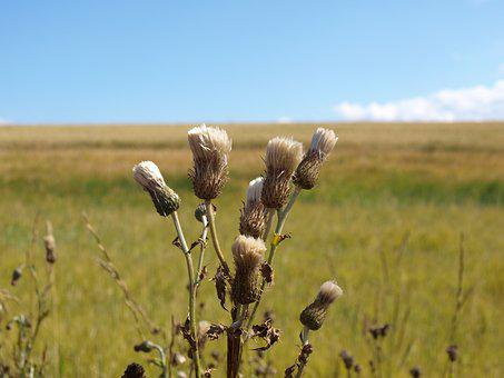 Scotland, Thistle, Summer, Nature, Meadow