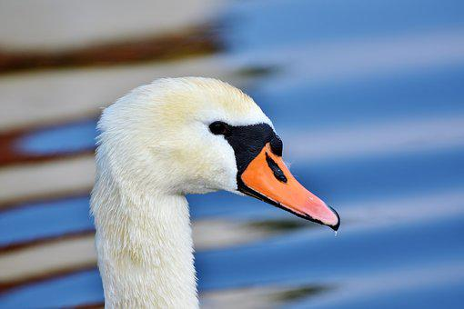 Swan, Water Bird, Bill, Schwimmvogel, Pride, Bird