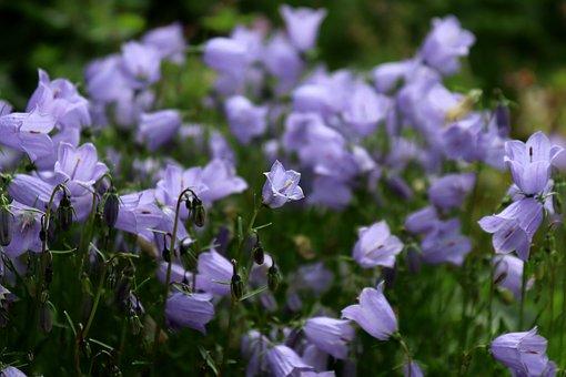 Flower, Bellflower, Blossom, Bloom, Blue, Tender