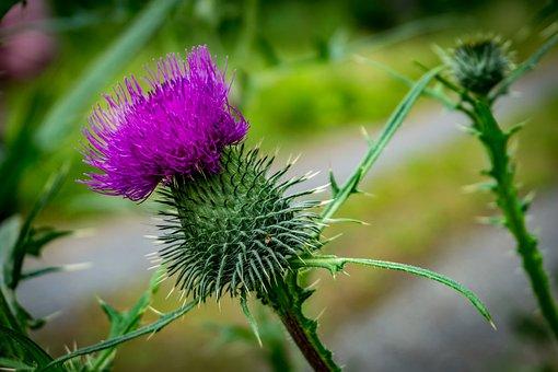 Thistle, Blossom, Bloom, Flower, Forest, Nature, Flora