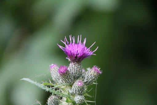 Thistle, Flower Thistle, Wild Plant, Thorny, Violet