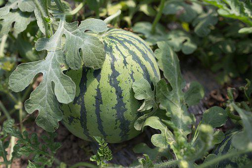 Plant, Vegetable, Country, Watermelon, Leaves