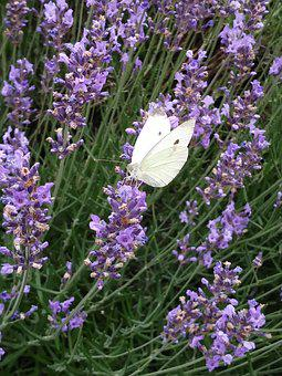 Butterfly, Lavender, White Ling