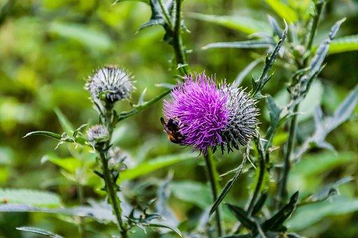 Nature, Thistle, Thistle Flower, Wild Flower