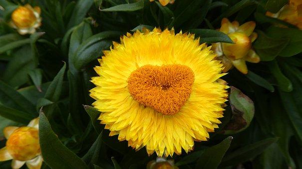 Italicum, Yellow, Blossom, Bloom, Composites, Summer