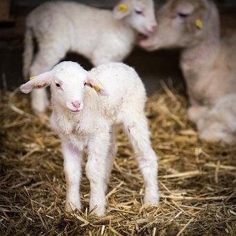 Sheep, Sheep Breeding, Lamb, Wool, Pasture, Agriculture