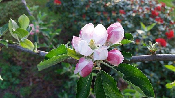 Apple Blossom, Apple, Fruit Tree Blossoming, Fruit Tree