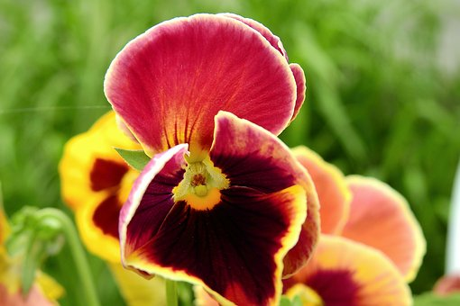 Pansies, Beauty, Nature, Colorful