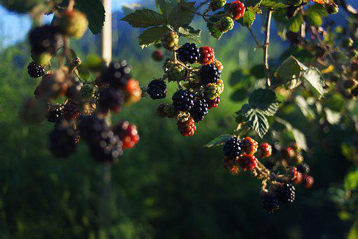 Blackberries, Berries, Plant, Fruit, Berry, Food