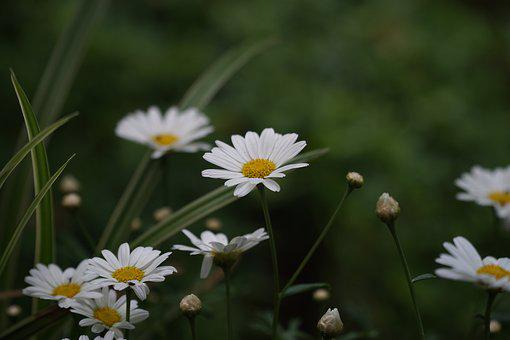 Daisies, Flower, Blossom, Bloom, Bloom, Nature, White