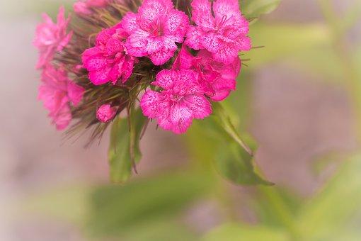 Flower, Pink, Blossom, Bloom, Pink Blossom, Pink Flower