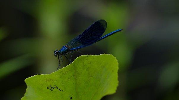 Banded Demoiselle, Dragonfly, Blue, Black, Bug, Wing