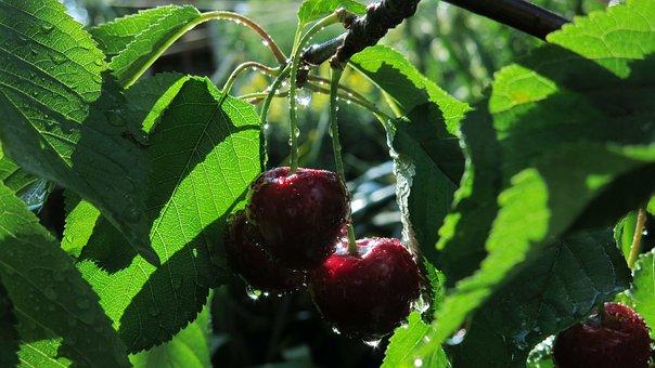 Sweet Cherries, Sweet Cherry Kordia, Cartilage Cherries