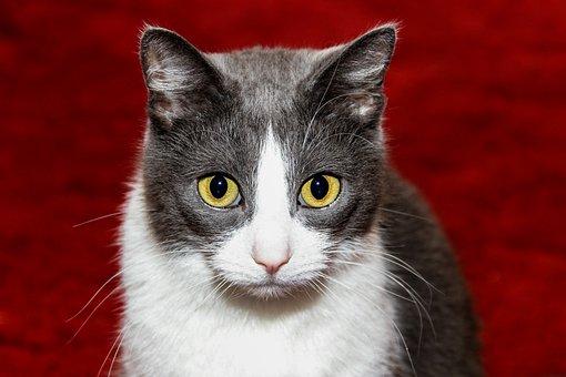 Cat, Domestic Cat, Pet, Animal, Animal World, Cat Face