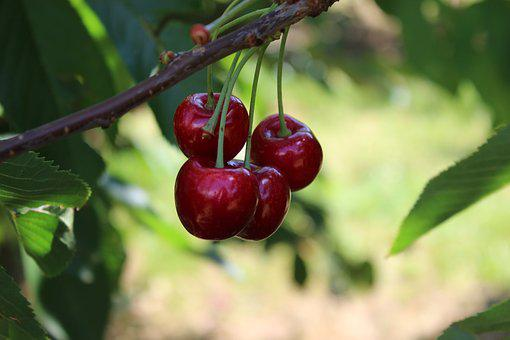 Cherries, Cherry Tree, Fruit, Summer, Fruits