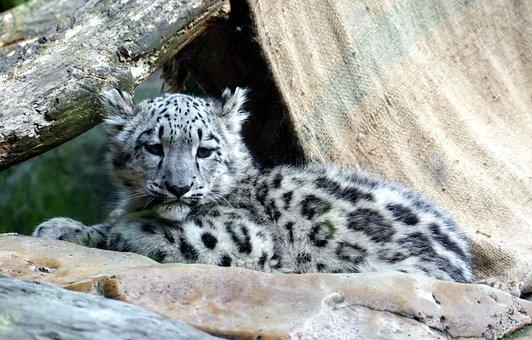 Snow Leopard, Irbis, Child, Young, Baby, Predator