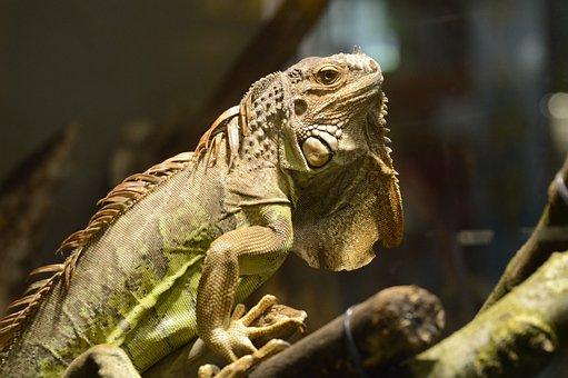 Iguanas, Squamata, Animal, Creature