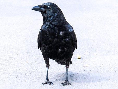 Animal, Bird, Wildlife Photography, Raven, Crow