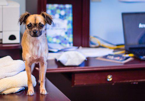 Dog, Chihuahua, Desk, Cute, Small, Hairy, Canine, Pet