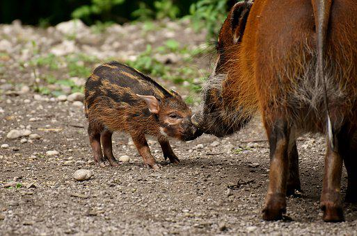 Boar, Young Animal, Mother Pig, Cute, Solicitous