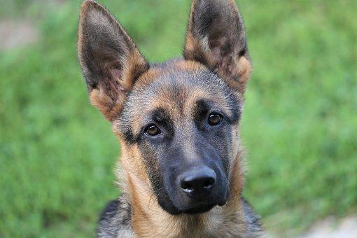 Young German Shepherd, Female, Dog, Animal, Pet, Nice