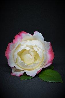 Rose, Pink, Weis, Flower, Blossom, Bloom, Romantic