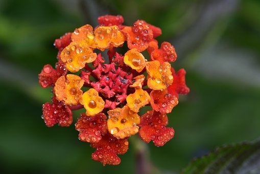 Lantana, Blossom, Bloom, Flower, Small, Orange, Red