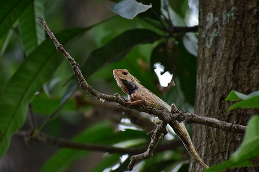 Indian Lizard, Forest, Close Up, Focus, Creature