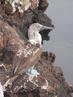 Booby, Booby Blue Footed, Ecuador, Galápagos, Pacific