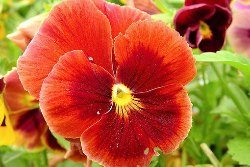 Pansies, Colorful, Garden, Flower