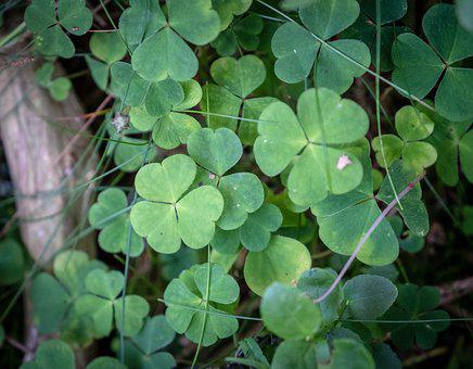 Klee, Four Leaf Clover, Leaves, Green, Plant, Forest