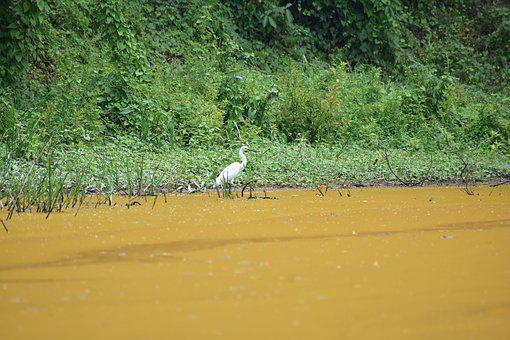 Heron, White Bird, Bird, Wildlife, Pond, Lake, Forest