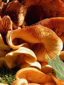 Fungus, Toadstool, Honey Fungus, Edible