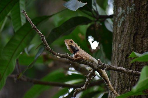 Indian Lizard, Forest, Close Up, Focus, Creature