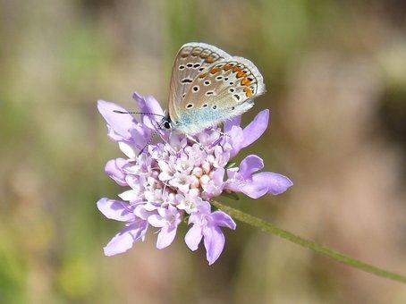 Blue Butterfly, Blaveta Commune, Flower, Libar