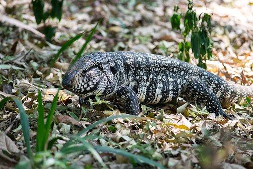 Reptile, Lizard, Animal, Green, Nature, Creature