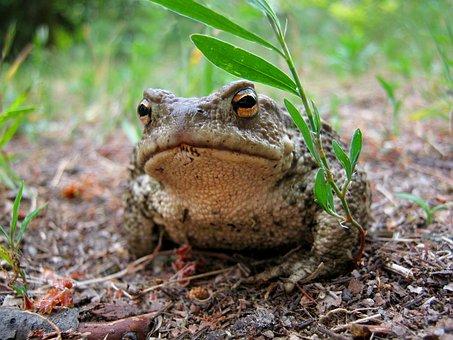 A Toad, The Frog, Amphibian, Grass, Litter, Look