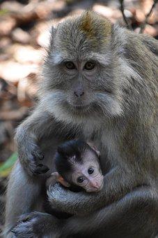 Indonesia, Monkey, Motherhood