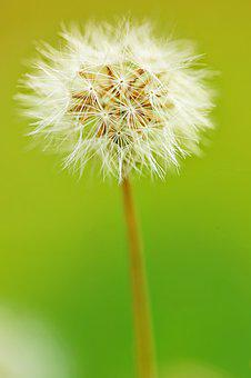 Dandelion, Furry, Nature, Flower, Macro, Bloom